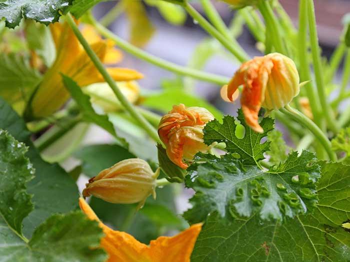 しぼんでいくズッキーニの花