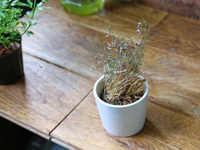 枯れた植木鉢の花