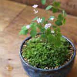 意外と楽しい植木市!珍しいお花やおしゃれな山野草まで安く買えるよ