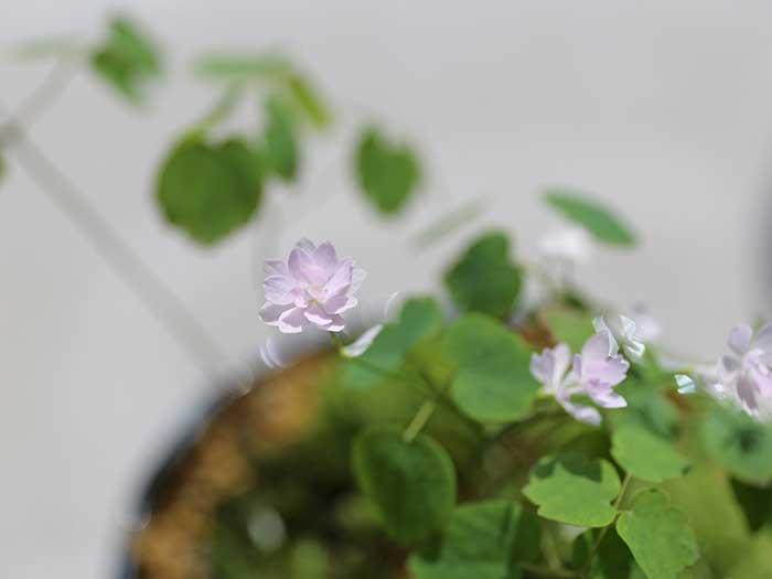 カメオの花