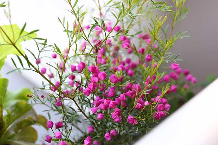 かわいいボロニアの花