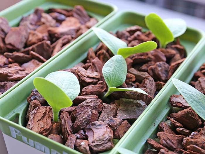 カボチャの種の発芽