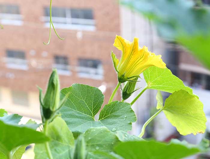 カボチャの花が咲いた
