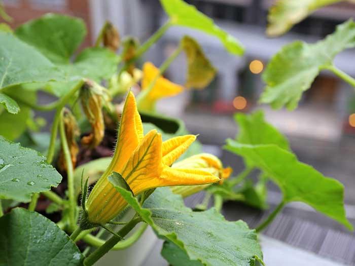 次々に咲くカボチャの花