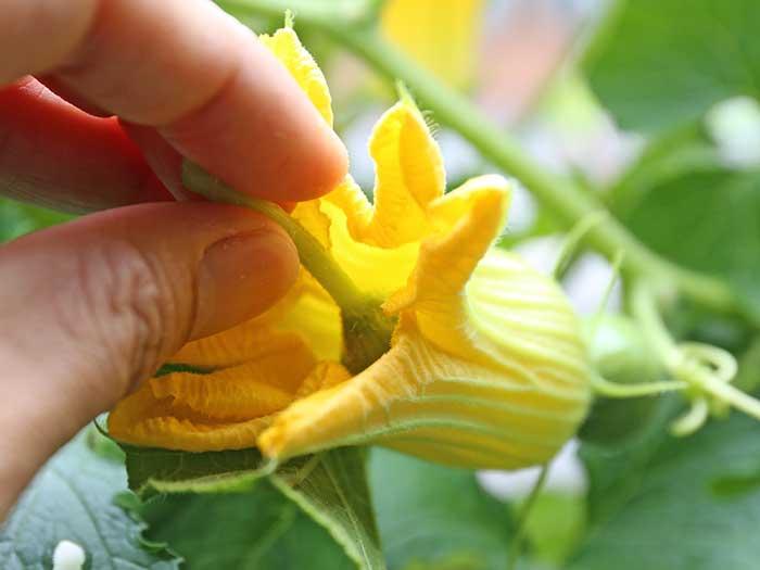 雌花に雄花の花粉を擦り付ける