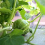 受粉したら実がなった!プランターでカボチャのほぼ水耕栽培!