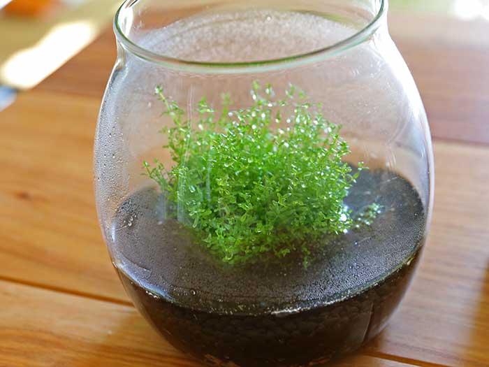 植え付けて1週間後の水草