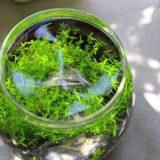 綺麗な水草のボトルアクアリウム