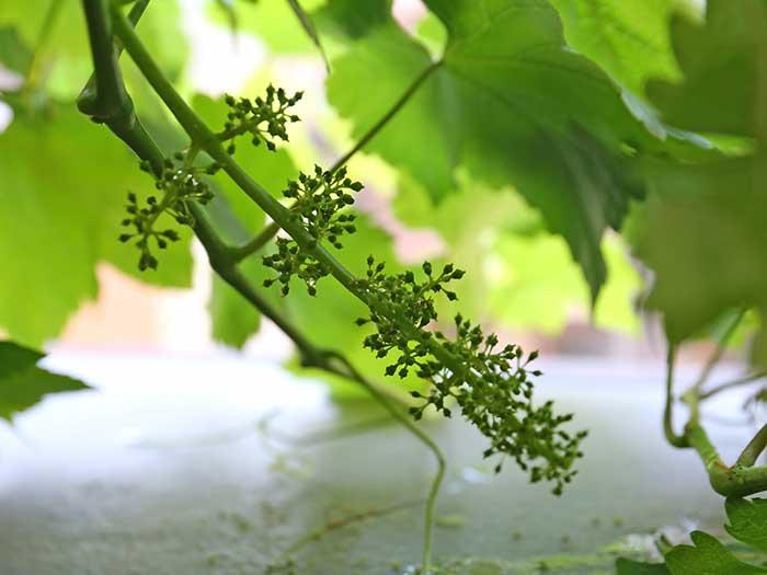 間引き終わったブドウの実