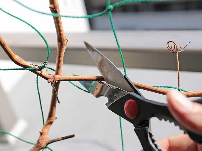 ブドウの枝を切り戻し
