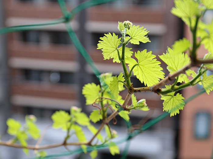 田太陽の光を浴びる瀬戸ジャイアンツの葉