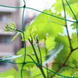 ブドウの花芽発見