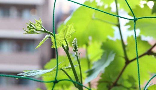 ベランダで瀬戸ジャイアンツの栽培!越冬の方法と芽吹き編