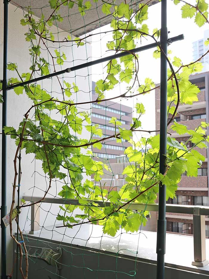 葉が茂り始めた瀬戸ジャイアンツ