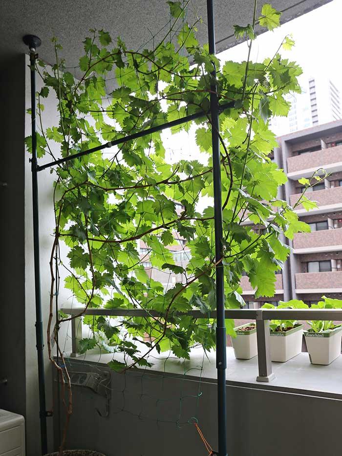 ブドウ棚前面に育った瀬戸ジャイアンツの葉