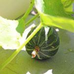 カボチャをベランダでほぼ水耕栽培!収穫のタイミングと気になる味!