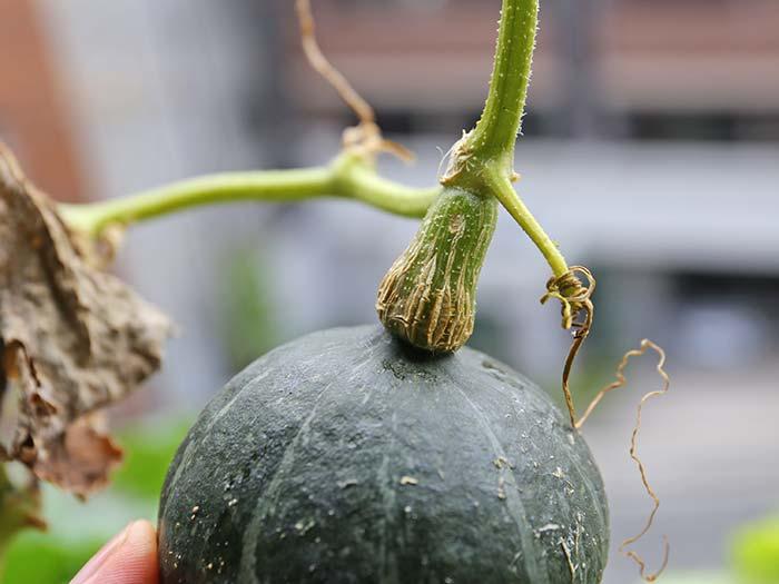 カボチャの収穫の見分け方