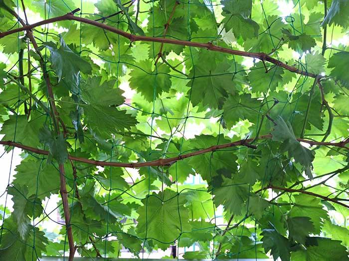 瀬戸ジャイアンツの茂った葉