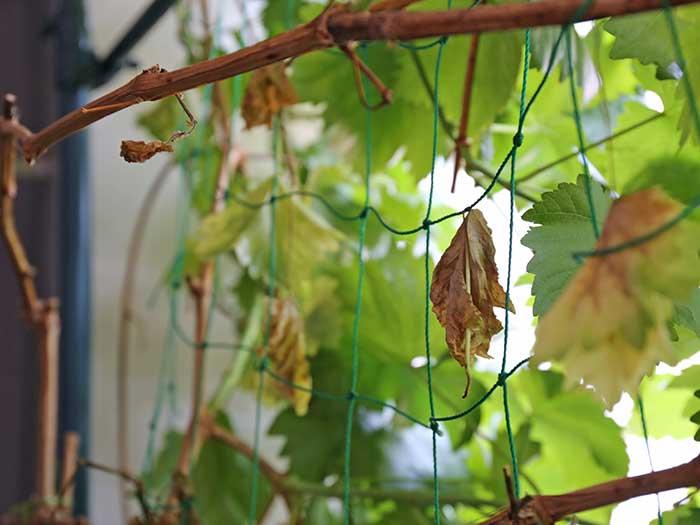 枯れ始めた葉