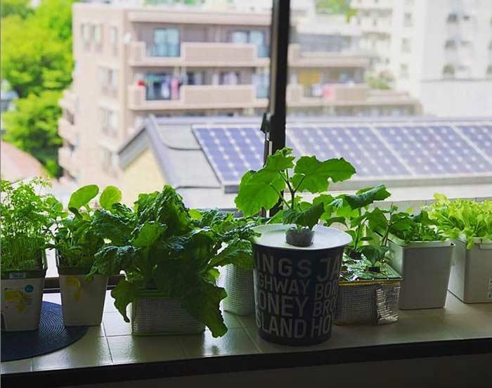 窓際の家庭菜園