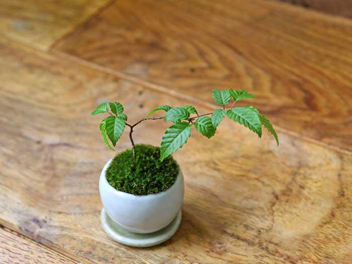 かわいいプチ苔盆栽
