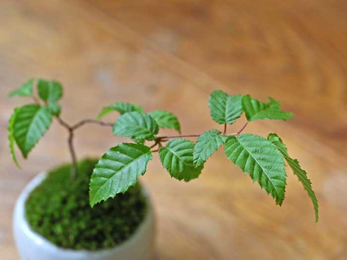 小さいシデの葉っぱがかわいい