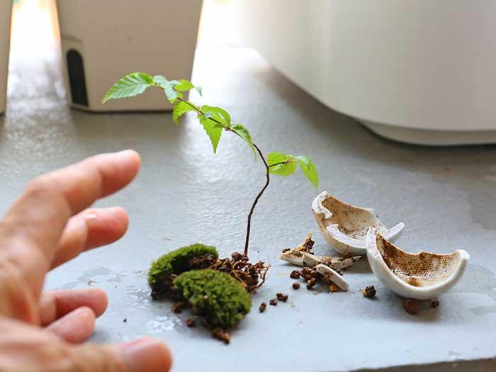 割れて大惨事の苔盆栽