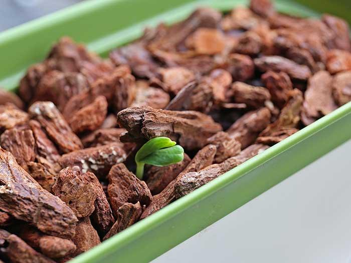 発芽したメロンの種