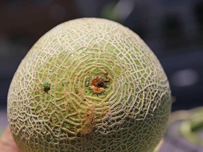メロンの収穫時期の判定