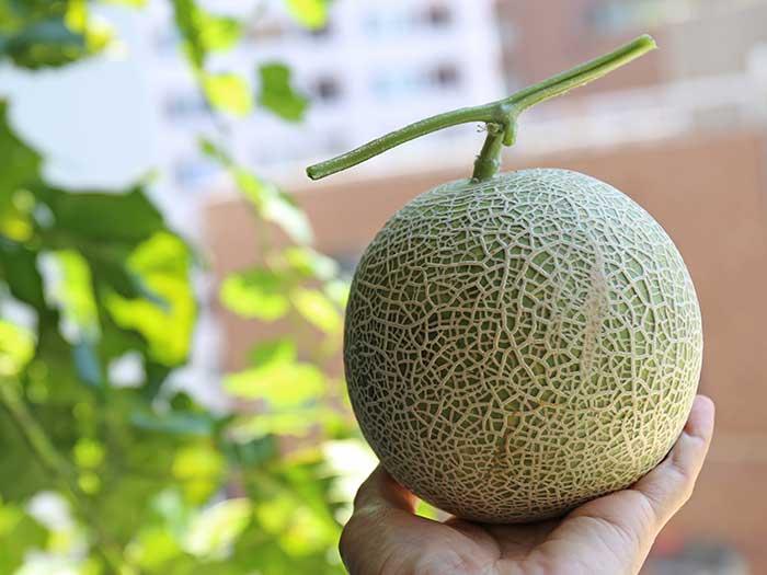 ベランダ菜園で収穫したメロン