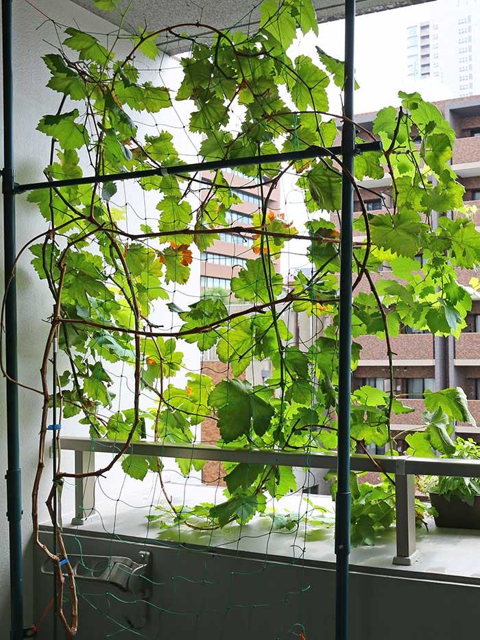 グリーンネットに伸びてるブドウ