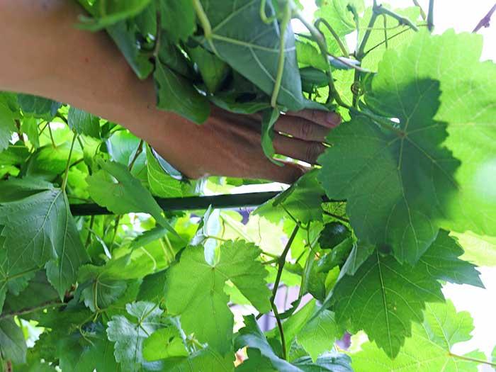 ブドウの葉を押しのけながら支柱を固定