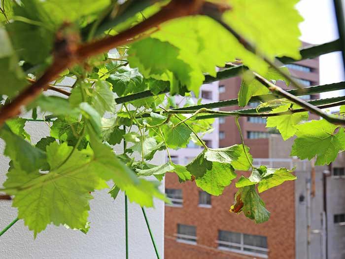 ぶどう棚の綺麗なブドウの葉