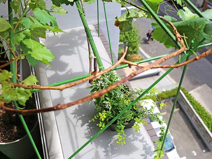 ブドウ棚を上から見たところ