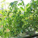 トマトが驚くほど元気に大きく育つ!水耕栽培キットMASUCOマスコの栽培記録
