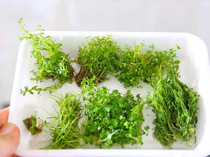 植え付ける水草