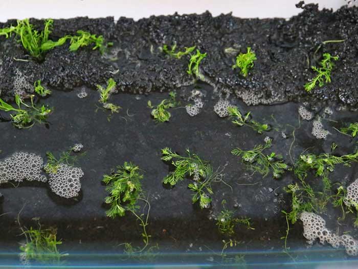 等間隔に植え付けた水草