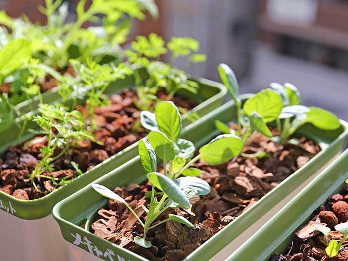 晴れた日差しで育つ野菜
