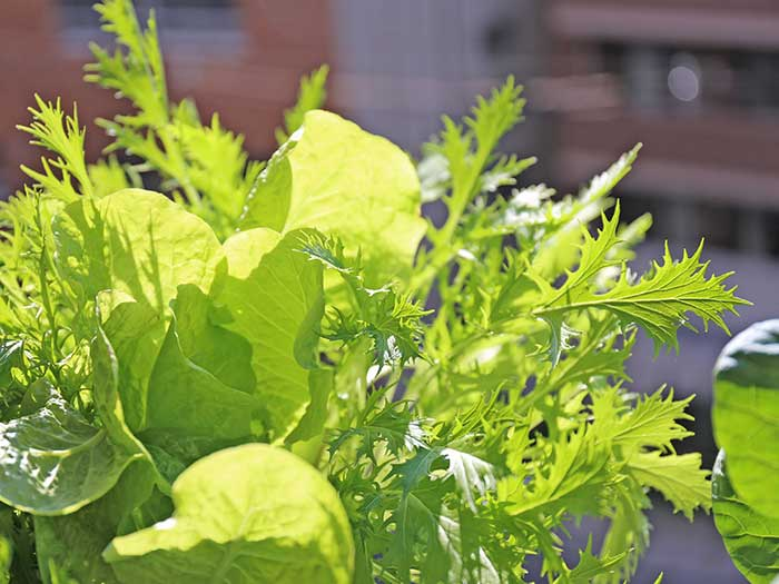 光を透過して綺麗な野菜