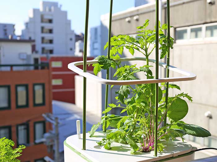 イエナで育つトマトやミズナ