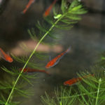 紅龍めだかの赤色を保つ!水質維持の為の越冬しやすい飼育容器と道具!
