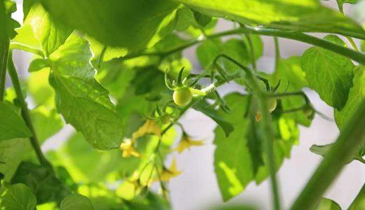 水耕栽培キットでトマトが冬に結実!綺麗な水菜も収穫できたよ!