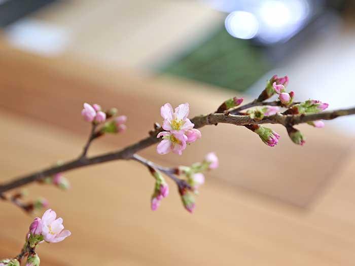 つぼみが咲き始めた寒桜