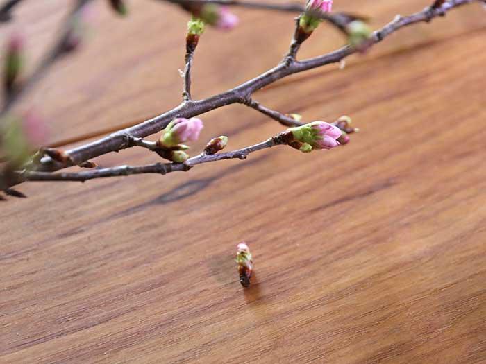 花芽がとれた桜の枝