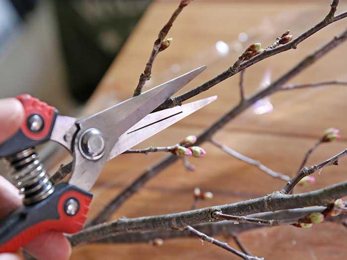 桜の切り枝をカットする