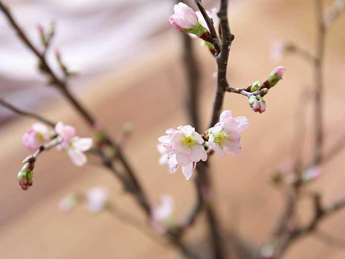 一晩で咲いた寒桜の花
