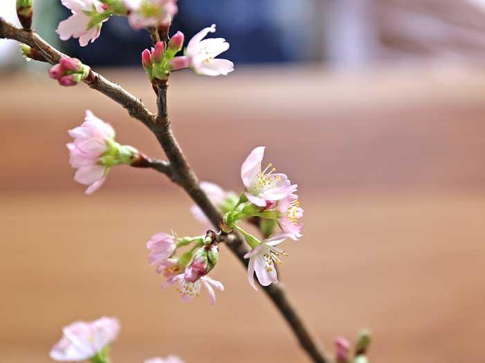 薄桃色の桜