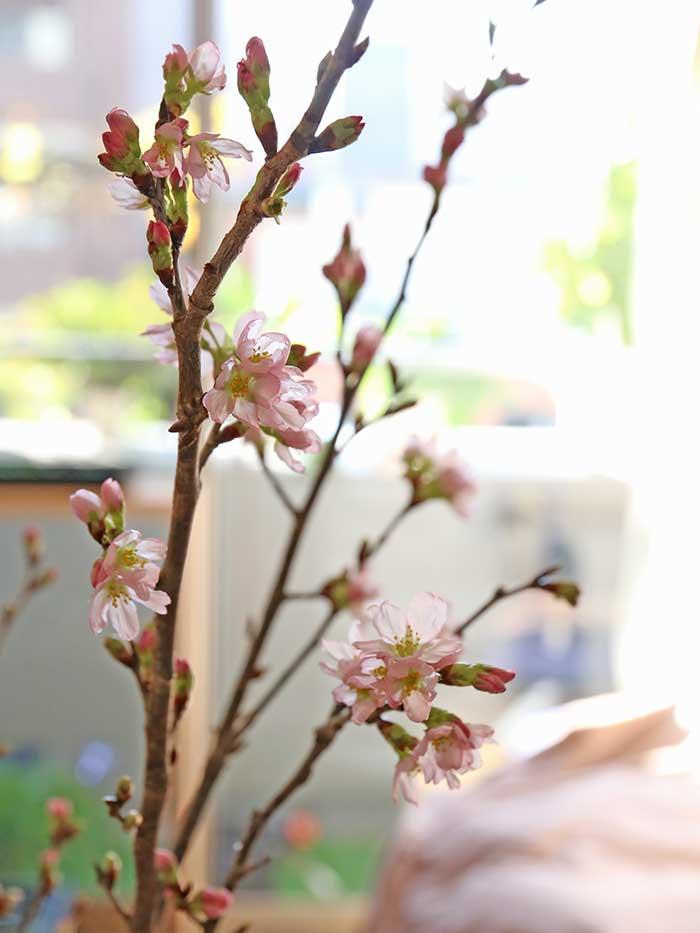 次々と開いていく桜の花