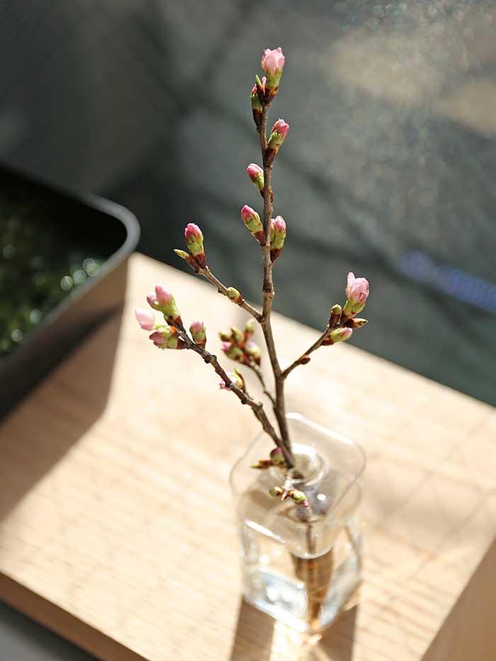 朝日で光る桜の小枝