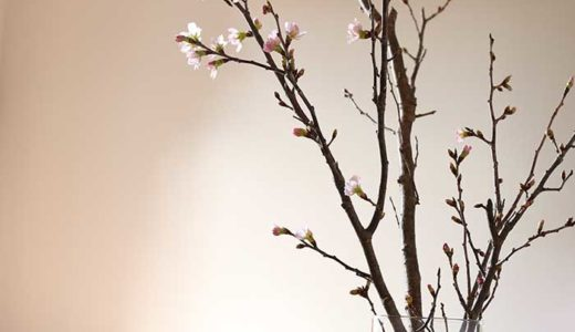冬に咲く桜をガラス花瓶に生けてみた!すごい存在感で部屋がセンスアップするよ♪